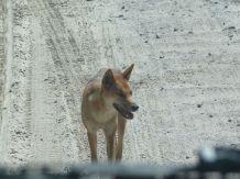 Dingo i levende livet.