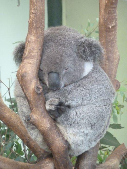 Trøtt Koala