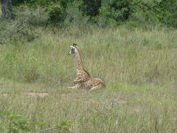 Selv giraffer kan bli trette.