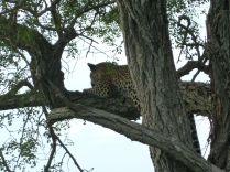 Leopard i avslappa omgivelser.
