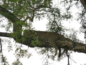 Leoparder liker best å ligge på ei grein.