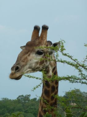 Giraff midt i matfatet.