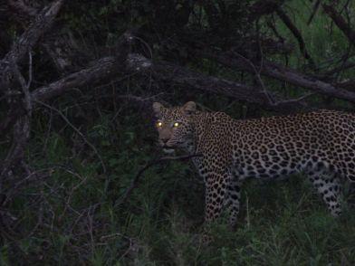 Leopard som ikke har tenkt å legge seg