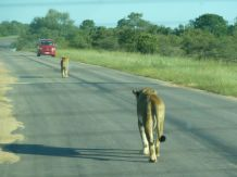 Løver liker også å ta seg en tur på veien.